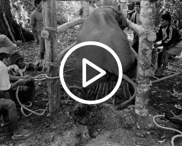 Ne faites jamais une balade à dos d'éléphant leur souffrance est atroce